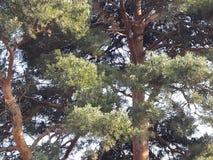 在步行的杉树 免版税库存照片