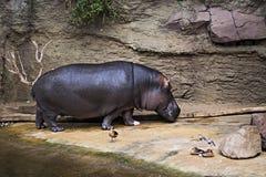 在步行的河马在动物园里 免版税库存照片