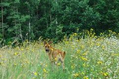 在步行的狗在乡下 库存照片