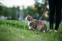 在步行的猫贪婪的吃草 免版税库存图片