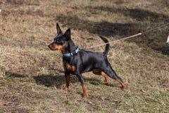 在步行的玩具狗 一个美丽的动物的照片 库存图片