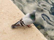 在步行的美丽的鸽子 免版税库存照片