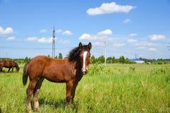 在步行的马在一个温暖的晴天 图库摄影