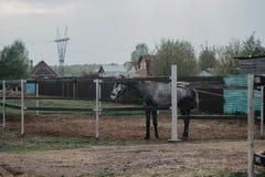 在步行的马在小牧场 马和自然 库存照片
