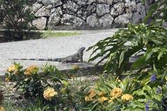 在步行的鬣鳞蜥 免版税库存照片