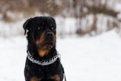 在步行的Rottweiler 库存照片
