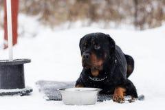 在步行的Rottweiler 免版税库存照片