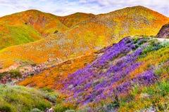 在步行者峡谷在superbloom期间,盖山谷和土坎,湖埃尔西诺的花菱草的风景, 库存图片