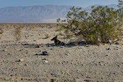在死亡谷国家公园加利福尼亚内华达团结的St的Cojote 免版税库存照片