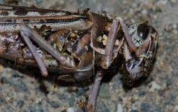 在死沙漠蝗虫Schistocerca的gregaria的蚂蚁 库存图片