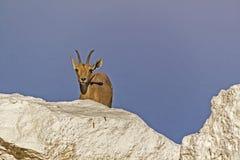 在死海岸的Nubian高地山羊,以色列 免版税库存图片