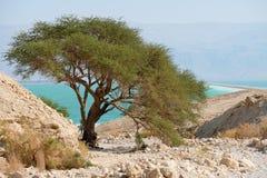 在死海的活金合欢树 库存图片