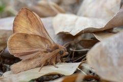 在死的叶子中的饮者飞蛾Euthrix potatoria 免版税库存照片