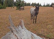 在死的注册旁边的蓝色软羊皮的一岁母马普莱尔山野马范围在蒙大拿美国 免版税库存图片