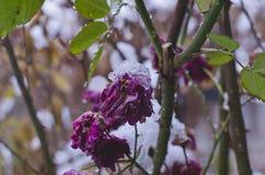 在死的老玫瑰色芽的雪 免版税库存照片