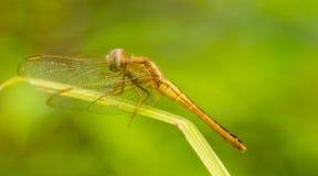 在残破的绿草的一只黄色蜻蜓 库存图片
