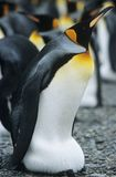 在殖民地附近的皇企鹅 免版税库存图片