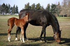 在母亲之后的小的马驹 免版税图库摄影