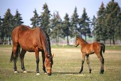 在母亲之后的小的马驹 免版税库存图片