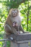 在母亲旁边的小的猴子 免版税图库摄影