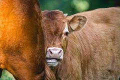 在母亲的小牛倾斜的头 图库摄影