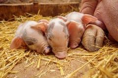 在母亲的背景的Piggys 免版税库存图片