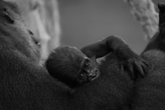 在母亲的胳膊的单音小大猩猩 图库摄影