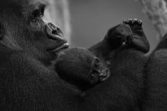 在母亲的胳膊的单音小大猩猩 库存照片