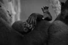 在母亲的胳膊的单音小大猩猩 库存图片