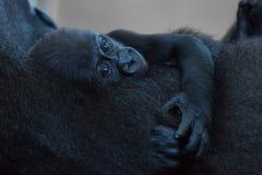 在母亲的胳膊的小大猩猩 库存图片