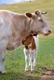 在母亲附近的一头小牛夏天牧场地的 库存照片