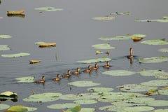 在母亲鸭子之后的鸭子 库存图片
