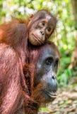 在母亲` s后面的小猩猩在一个自然生态环境 免版税库存图片