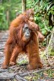 在母亲` s后面的小猩猩在一个自然生态环境 免版税库存照片
