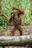 在母亲` s后面的小猩猩在一个自然生态环境 图库摄影