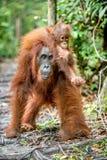 在母亲` s后面的小猩猩在一个自然生态环境 库存照片