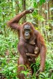 在母亲` s后面的小猩猩在一个自然生态环境 免版税图库摄影