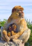 在母亲` s胳膊的小猴子 免版税库存图片