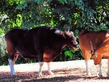 在母牛后的Banteng公牛 库存图片