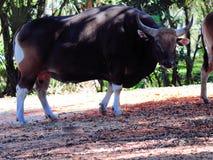 在母牛后的Banteng 免版税库存照片