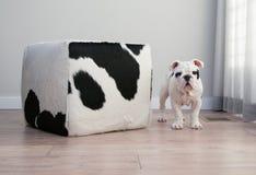 在母牛旁边的黑白牛头犬小狗立场掩藏ottoma 免版税库存照片