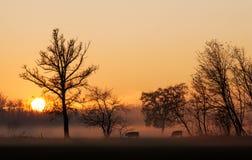 在母牛的日落在一个有雾的领域 免版税库存照片