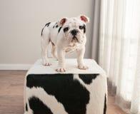 在母牛的黑白牛头犬小狗立场掩藏无背长椅 库存图片