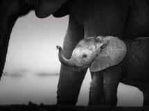在母牛(艺术性处理)旁边的婴孩大象 库存照片