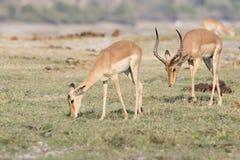 在母鹿之后的格兰特瞪羚在夏天 免版税库存照片