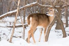 在母鹿的耳朵的冻伤 库存照片