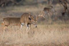 在母鹿的足迹在热 库存图片