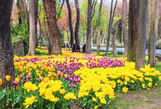 在每年4月郁金香节日期间的五颜六色的花床 免版税库存照片