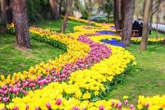 在每年4月郁金香节日期间的五颜六色的花床 免版税库存图片