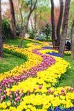 在每年4月郁金香节日期间的五颜六色的花床 库存照片